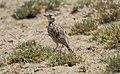 Short-tailed Lark (Spizocorys fremantlii) (46523391942).jpg