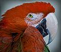Shrugging parrot (8307573785).jpg