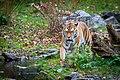 Siberian Tiger (38846192081).jpg