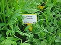 Silene jardin des plantes dsc00892.jpg