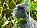 Silvered Leaf Monkey (Trachypithecus cristatus) (15162129453).jpg