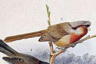 Przevalskis parrotbill species of bird