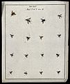 Sixteen flies (Muscæ species). Coloured etching by M. Harris Wellcome V0022489ER.jpg