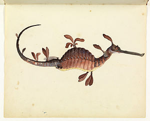 Common seadragon - Common Seadragon, Phyllopteryx taeniolatus, from the Sketchbook of fishes by William Buelow Gould, 1832