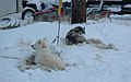 Sled dogs on some hides (288930507).jpg