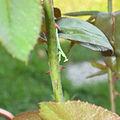 Small-mantid-rose-bush.jpg