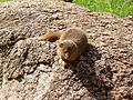 Small Mongoose - Flickr - gailhampshire.jpg