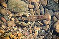Smoke Hole - crayfish 1.jpg