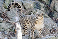 Snow Leopard Showing Tail (13883254224).jpg