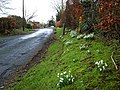 Snowdrops in Symington - geograph.org.uk - 325044.jpg
