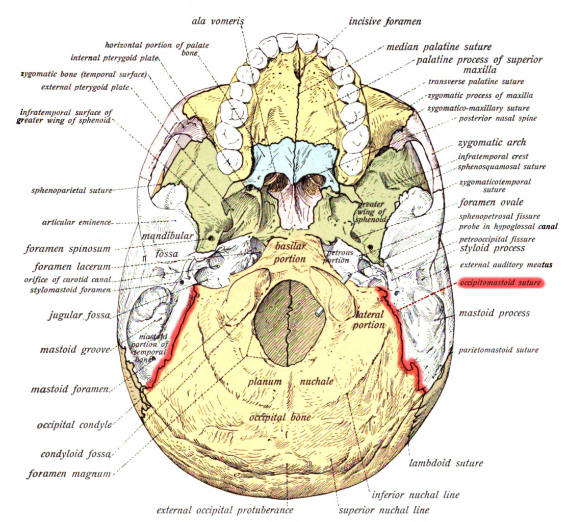 File:Sobo 1909 42 - Occipitomastoid suture.png - Wikimedia Commons