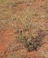 Solanum chippendalei.jpg