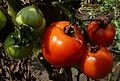 Solanum lycopersicum E2.jpg