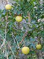 Solanum sodomaeum 0078.JPG