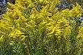 Solidago canadensis flowerhead1 (16189416842).jpg