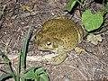 Sonoran Desert Toad.jpg