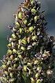 Sorghum bicolor fruit (01).jpg