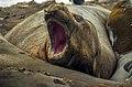 Southern Elephant Seal 04(js).jpg