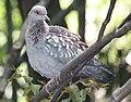 Speckled Pigeon 058.jpg
