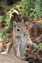 Spermophilus lateralis Bryce Canyon.jpg