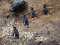 Spheniscus mendiculus -Galapagos -walking-8 (5).jpg