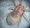SpiderBack.JPG