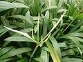 Spider Lily (Hymenocallis speciosa) 4.jpg