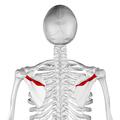 Spine of scapula04.png