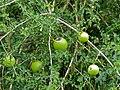 Spiny Monkey-orange (Strychnos spinosa) (12696422645).jpg