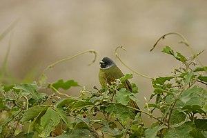 Bulbul - Collared finchbill