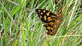 Spotted Brown, Heteronympha paradelpha (12866407093).jpg