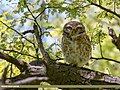 Spotted Owlet (Athene brama) (31668634587).jpg