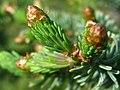 Spring foliage buds opening on a White Spruce tree, Denali NP (b0916c95-f9db-45a9-9225-eefc721b8fac).jpg