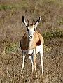 Springbok (Antidorcas marsupialis) female (32197532543).jpg