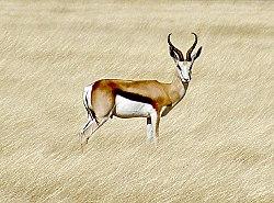 Springbok etosha.jpg