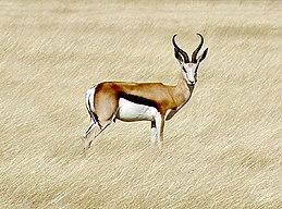 260px Springbok etosha Su Antilopları Hakkında Bilgi