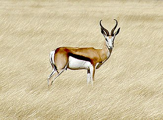 National symbols of South Africa - Image: Springbok etosha