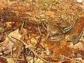 Springfrosch am Stachel bei Pettstadt.jpg