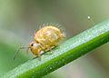 Springtail spermatophore.jpg
