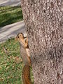 Squirrel on tree trunk.jpg