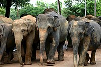 Sri Lanka Elephants 03.jpg