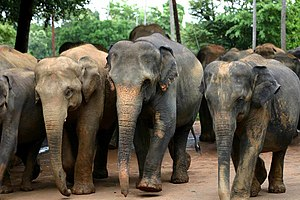 Asian elephant - Sri Lankan elephants