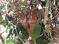 Sri Lanka Frogmouth Anamalai Hills.jpg