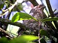 Sri Lankan Frogmouth sitting on nest - Flickr - gailhampshire.jpg