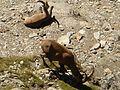 Stambecchi allo Scorluzzo - panoramio.jpg
