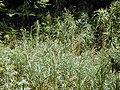 Starr-030405-0106-Cenchrus purpureus-habit-Makawao Forest Reserve-Maui (24603393046).jpg