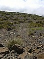 Starr-030603-0062-Deschampsia nubigena-habit-HNP-Maui (24552958291).jpg