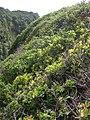 Starr-050405-5881-Schinus terebinthifolius-habitat-Keopuka-Maui (24375337639).jpg