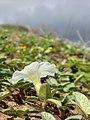 Starr-060928-0390-Ipomoea imperati-habit and flower-Keopuolani Park-Maui (24238248004).jpg