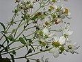 Starr-081230-0662-Montanoa hibiscifolia-flowers undersides with flash-Upper Kaulana-Kahoolawe (24809278242).jpg